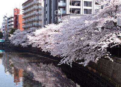 蒲田・呑川の桜