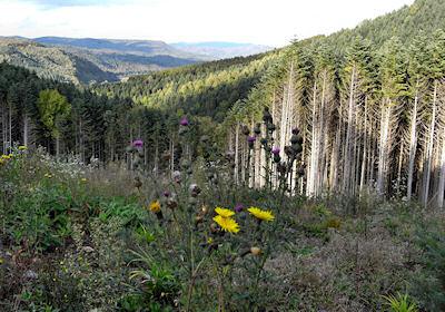 伐採地と人工林