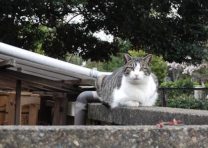 雑司ケ谷の猫