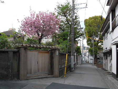 駒込の八重桜