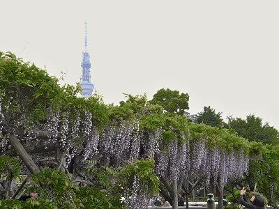 亀戸天神の藤とスカイツリー