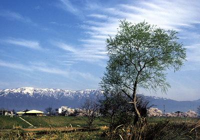 長井の桜 1980年5月