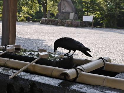 尾山神社のカラス