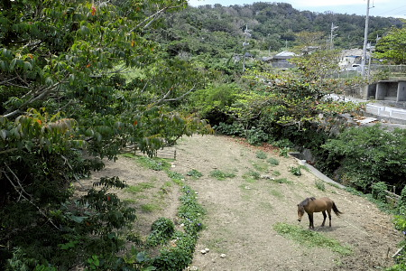 宮城島の馬
