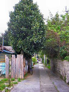 辺野古・フクギのある路地