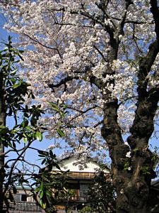 駒込3丁目の民家の庭に咲く桜
