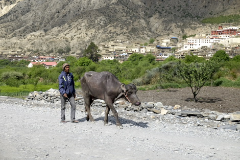 水牛と男性